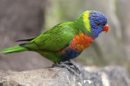 Colorful rainbow lorikeet  Trichoglossus haematodus  on a rock