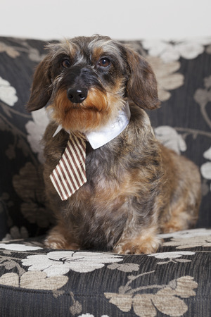 Cute dachshund with tie sitting on a chair Stock Photo
