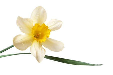 Daffodil on a white background with path Stock Photo