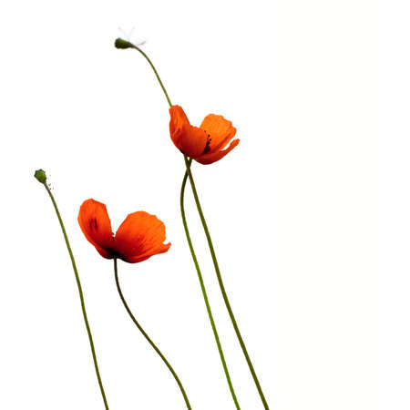 Two wild red poppies on fine stems on a white background
