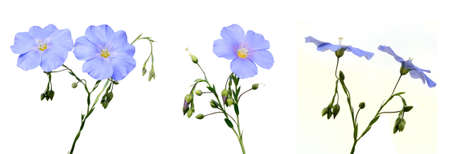 Flax flowers on a white background