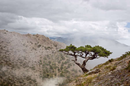 juniper tree: Lone Juniper on a hillside in the fog