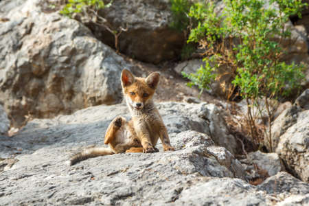 Little fox in the wildlife Stock Photo