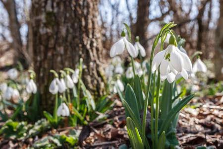 明るい春の朝森のスノー ドロップ