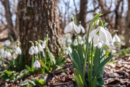 snowdrops in the forest bright spring morning 스톡 콘텐츠
