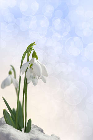 Snowdrops on a gentle background photo
