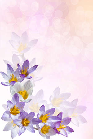 felicitation: Background for a card with crocuses
