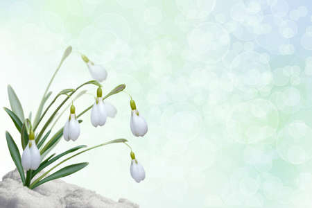 Background for a card with snowdrops