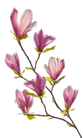 the magnolia: Flowering branch of magnolia, isolated on white background Stock Photo