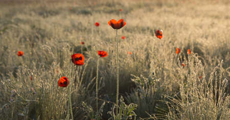 dawning: red poppies in the dew at dawn Stock Photo