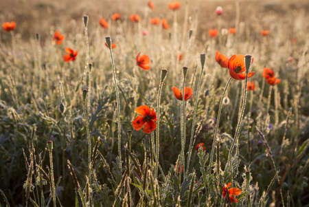 red poppies in the dew at dawn Stock Photo
