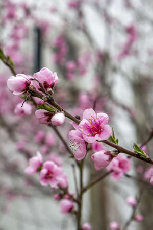 flowering plant: Flowering almond tree branch