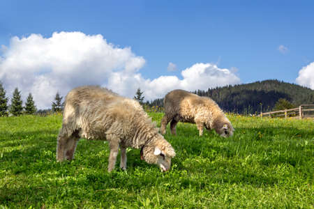 Sheep grazing in a meadow with lush green grass Stock Photo