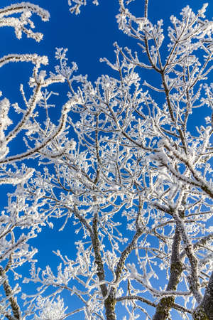 Snow-covered tree branches against a bright blue sky