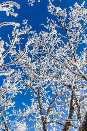 明るい青い空を背景の雪に覆われた木の枝