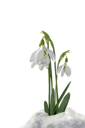 snowdrops in the snow isolated on white background