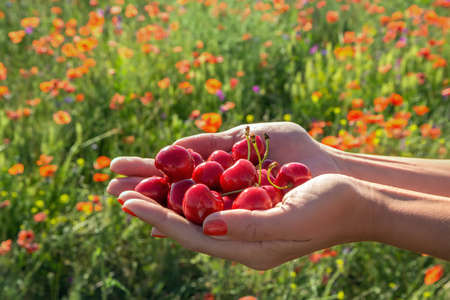 A handful of juicy berries cherries outstretched in women Stock Photo