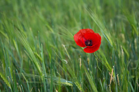 contrasting: Bright red poppy on a contrasting background of green grass Stock Photo