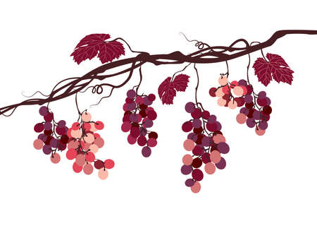 bunch of grapes: stylized graphic image of a vine with pink grapes
