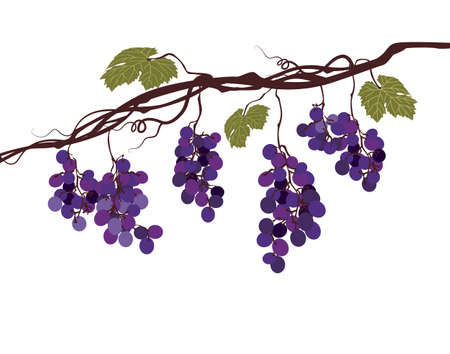 cluster: Stylized graphic image of a vine with grapes Illustration