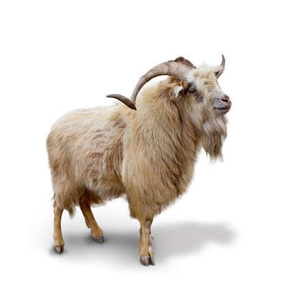 brown goat: Wild mountain goat Isolated on the white background Stock Photo