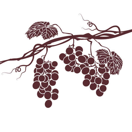 red grape: Monochrome illustration of the vine on a white background Illustration