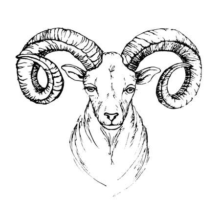 rough draft: Sketch by pen head of a mountain goat with swirling horns