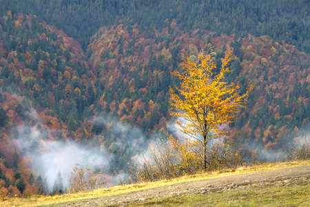 Lonely bright yellow tree against the background of a colorful autumn forest