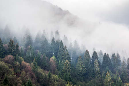 Slope of the mountain, covered with spruce forest in the morning fog Stock Photo
