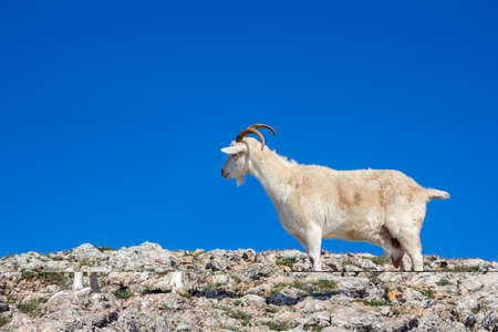 Wild mountain goat in a natural environment, on top of a mountain against a blue sky Stock Photo