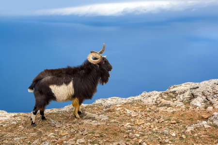 Wild mountain goat in the natural environment, on the top of the mountain against the sky and the sea