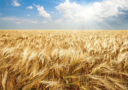 Field of wheat in bright sunlight, agricultural background Stock Photo