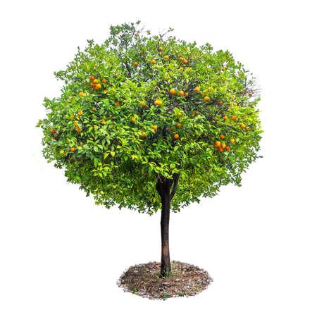 Orange tree with fruits isolated on white background