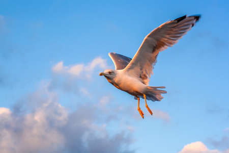 Seagull flying in the sky in the rays of the sunset on a background of clouds