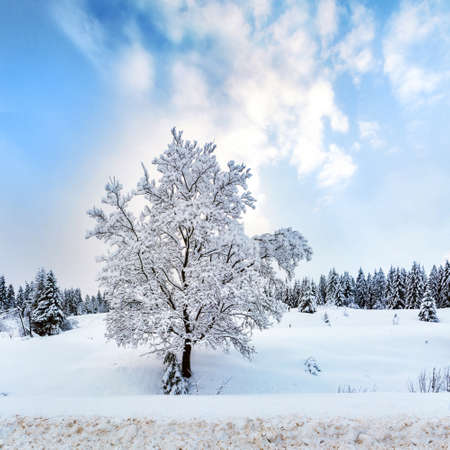 Lonely snow-covered tree in the winter forest
