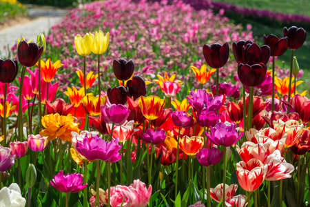 Bright multicolored tulips of different varieties