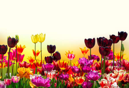 Multicolored floral frame of isolated tulips of different varieties, background for greeting banner