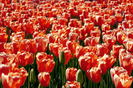 Abstract background, infinite field of red tulips