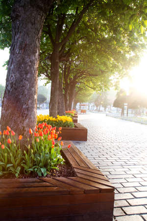 Flowerbed with tulips in Istanbul street in the early morning during the festival of tulips 写真素材