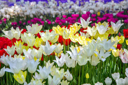 Flowerbed with bright multicolored tulips, floral joyful  background
