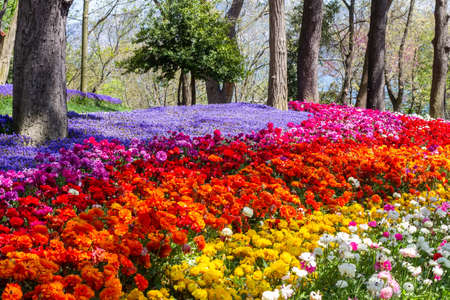 Multicolored flowers in Emirgan Park at the Tulip Festival in Istanbul, a bright colorful spring background 写真素材