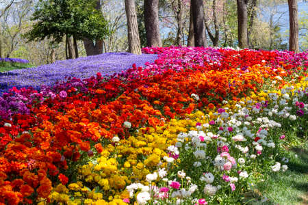 Multicolored flowers in Emirgan Park at the Tulip Festival in Istanbul, a bright colorful spring background. 写真素材