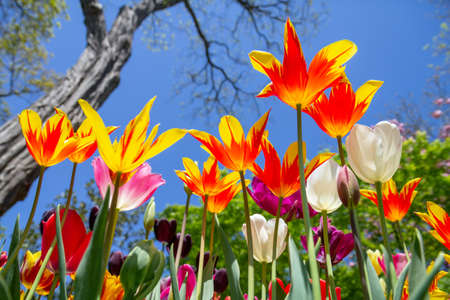 Multicolored tulips, view from below, against the blue sky, colorful spring background