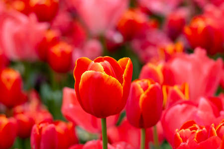 Bright red tulip on the background of a tulip field 写真素材