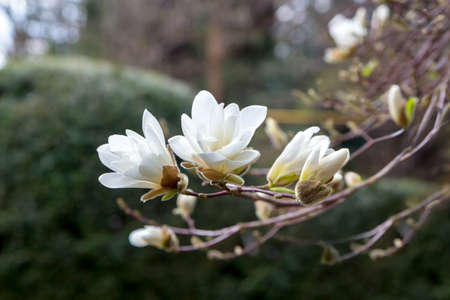 A branch of white Japanese magnolia Kobus in bloom against a dark background