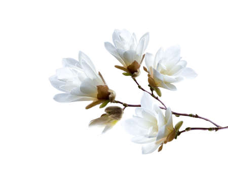 Branch of white Japanese magnolia kobus isolated on white background 写真素材