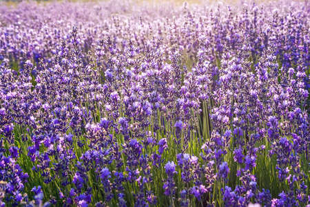 Colorful floral background, lavender flowers in backlight