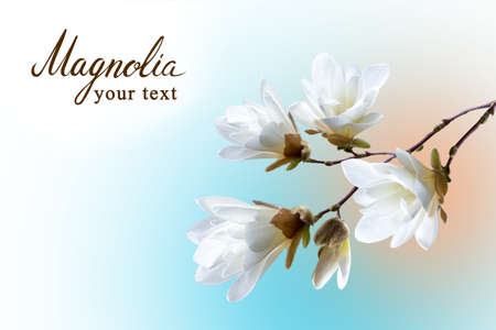 Spring card, a branch of white magnolia Kobus on unfazed background