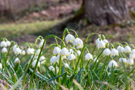 The first spring flowers in forest, bud of snowdrops, symbol of nature awakening in the sunlight