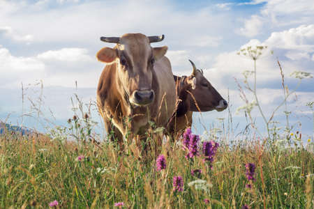 Two cows closeup graze on a summer grass meadow Stockfoto